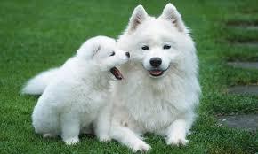 Köpeklerin Beden Dili Resimli